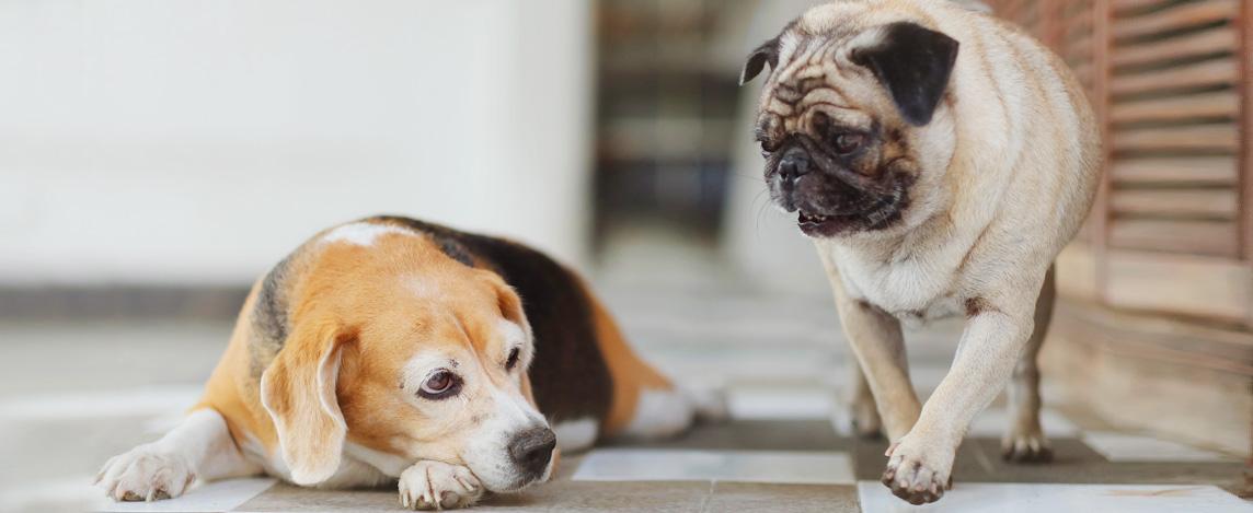 Obesidade Canina