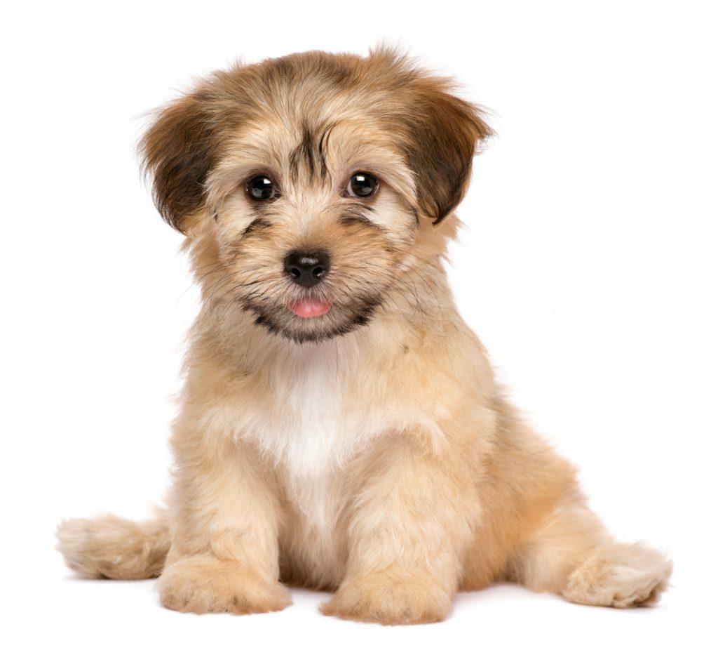 cuidados com filhote de cachorro