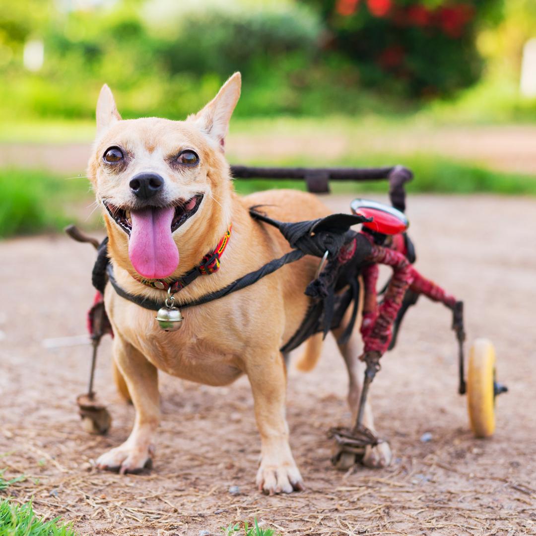 Fisioanimal - Cadeira de rodas
