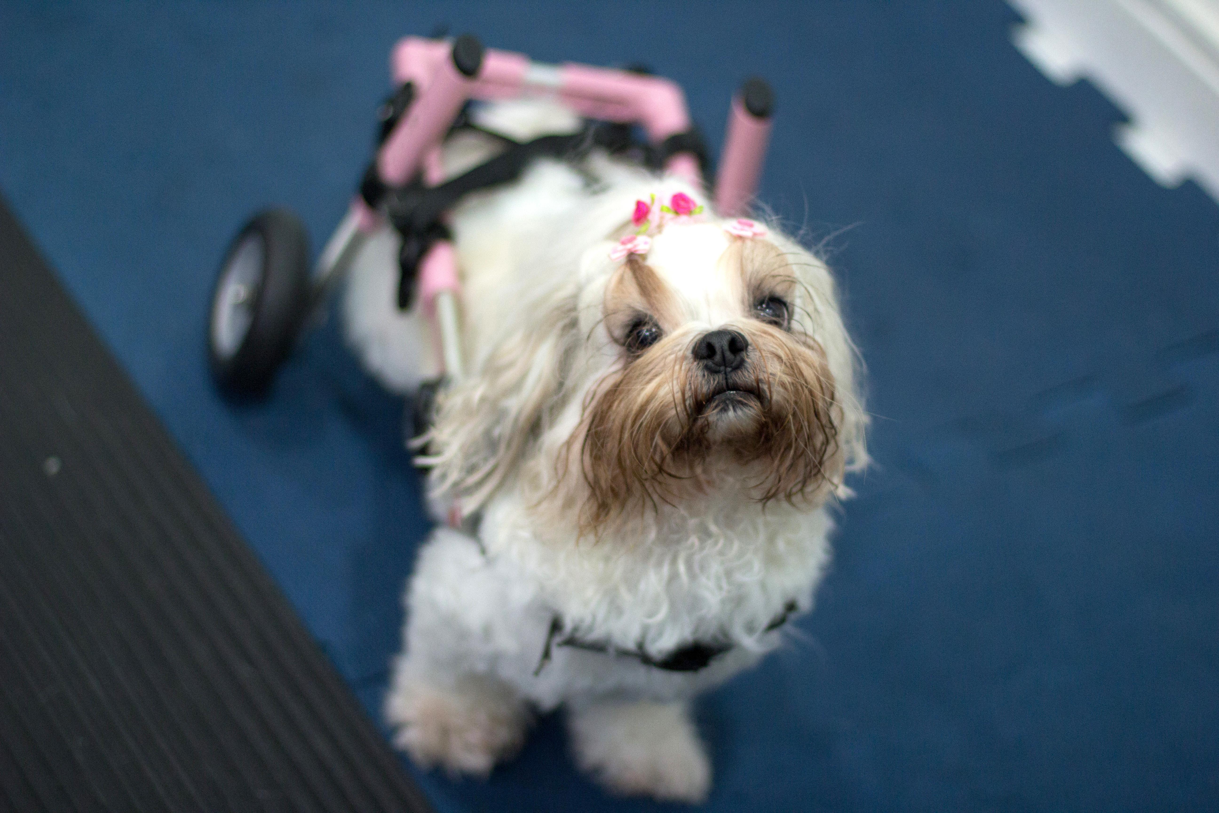 Fisioanimal - Tratamento Uso cadeira de rodas